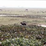 pantanal-capybara