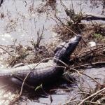 pantanal-jacare-1