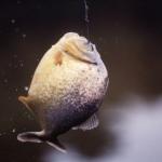 pantanal-piranha