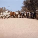pantanal-troupeau-vaches