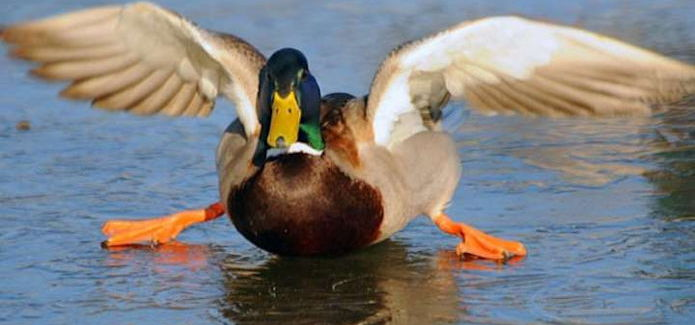 Samba pour froid de canard